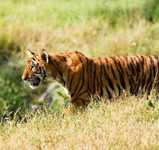 Tiger Tales From The Terai