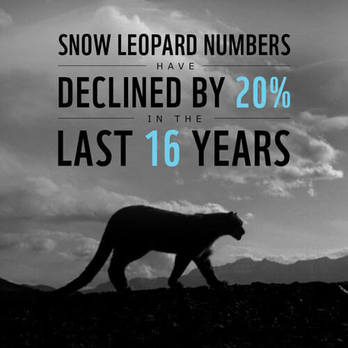 Endangered Snow Leopard Facts