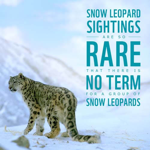 Interesting Facts About Snow Leopards