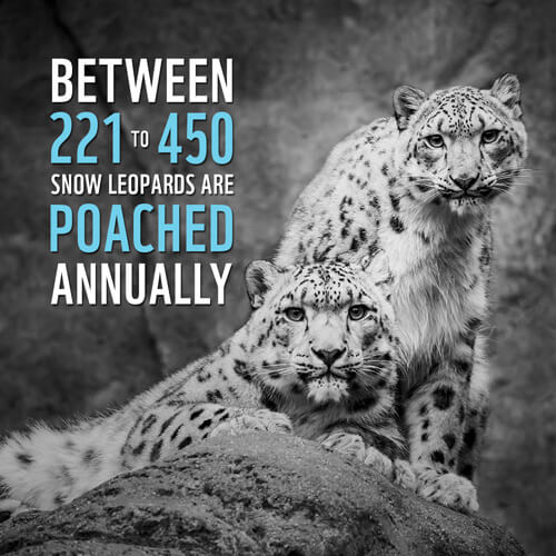 Snow Leopard Endangered Species Facts