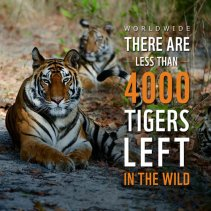 Tigers Endangered Facts
