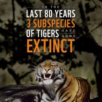 Tiger Extinction Facts