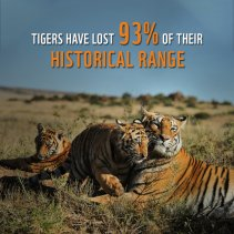 Unknown Facts about Tiger