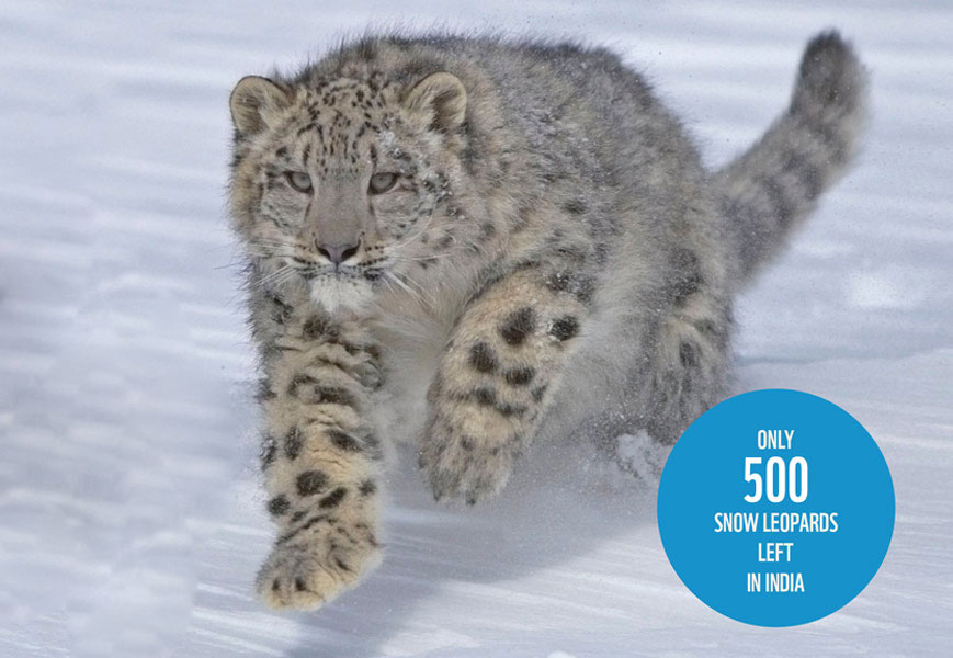 SAVE OUR SNOW LEOPARD