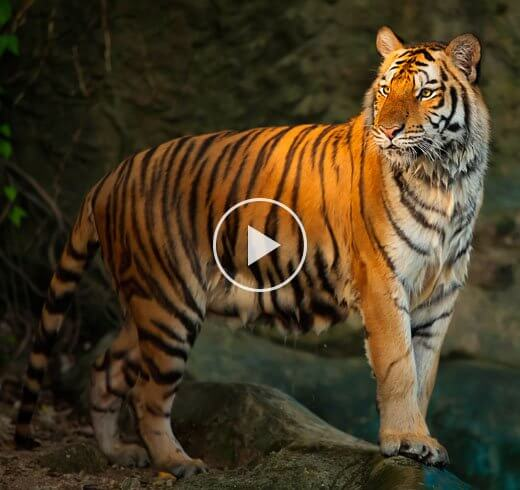 Bengal Tiger Video